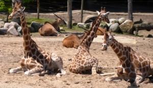 giraffen2